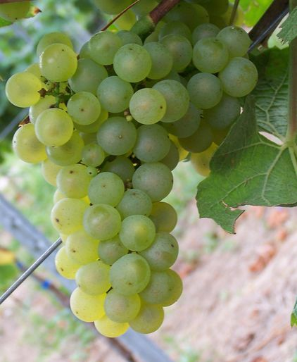 bunch of chardonnay on a vine